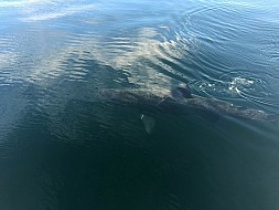 Close Encounter with Basking Shark