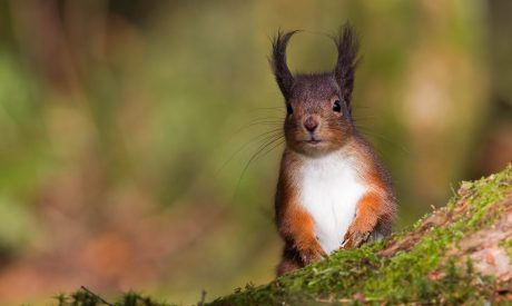 Red Squirrel | Argyll Cruising | Wildlife Cruise | Scotland