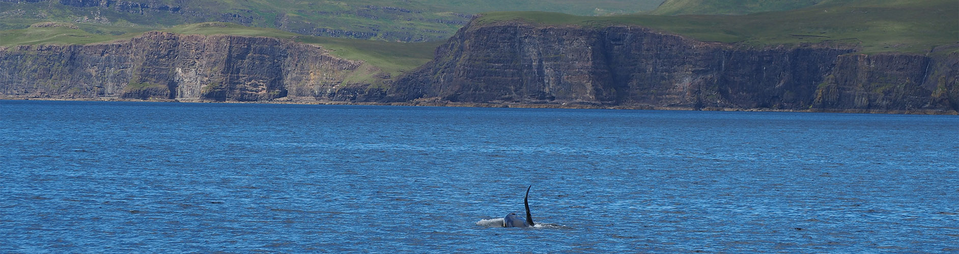 Orca Whale | Killer Whale | Scottish Wildlife | Scottish Cruises
