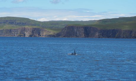 Killer Whale | Scottish Sighting | Bull Orca