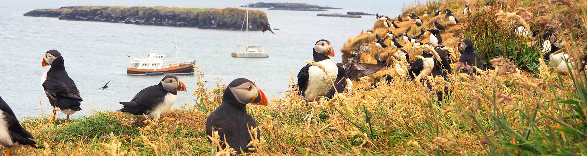 Mini Cruises Scotland | Argyll Cruising | Puffins |Lunga